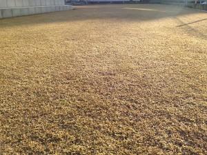 2016年2月11日の雪のない裏庭の芝生。少し低い目線で撮影。