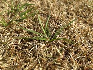 茶色い芝生に生えた緑の雑草。