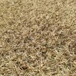 茶色く枯れた芝生。近接撮影。