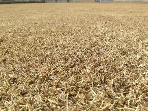 茶色く枯れた芝生。少し離れて撮影。