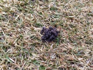 芝生の上のミミズのふん。