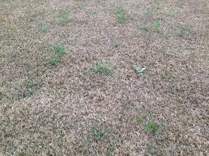 芝生に増えた雑草。