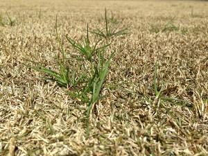 芝生の雑草。