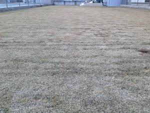 芝焼きの後の裏庭の芝生。