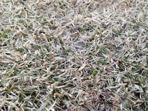 2016年3月26日の芝生。早朝6時作業開始前の芝生。近接撮影。