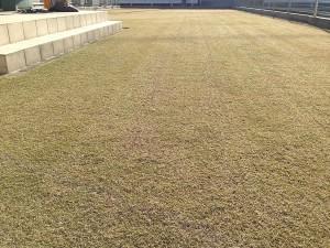 7時50分、バーチカルカット終了後の芝生。