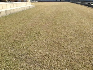 目土の全面散布の後の芝生。