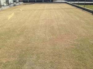 目土の全面散布の後の芝生。角度を変えて撮影。