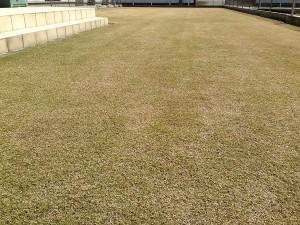 目土の擦り込みの後の芝生。西側から撮影。