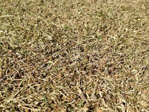目土の擦り込みの後の芝生。近接撮影。