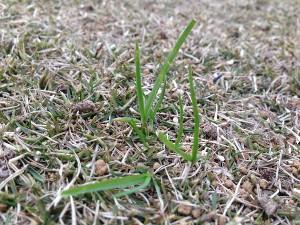 芝に生えたスズメノカタビラ。