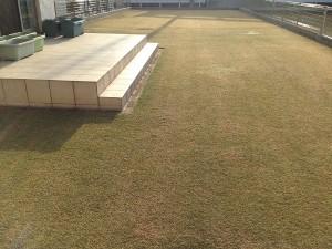 2016年4月2日、朝7:00の芝生。西側から撮影。