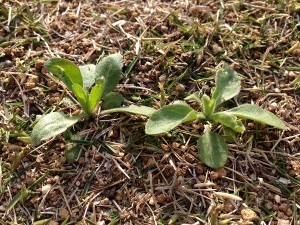 ハルジオンのロゼット様の根生葉。