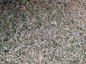 集草箱の中。枯れ芝が多い。