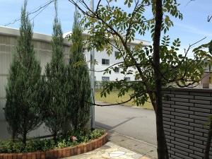 玄関前のコニファーとシマトネリコ。後ろ側から撮影。