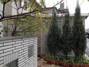 雨、玄関前のコニファーとシマトネリコ。