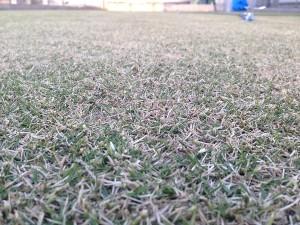 2016年4月13日、朝6:00前の芝生。近接撮影。