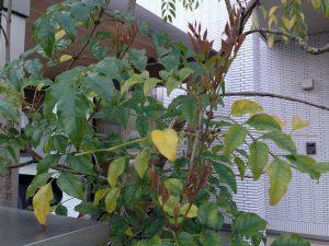 シマトネリコの新芽。