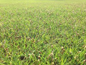 2016年4月29日の芝生。TM9の穂が出ている。