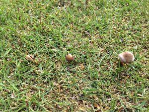 芝生の上のキノコ。