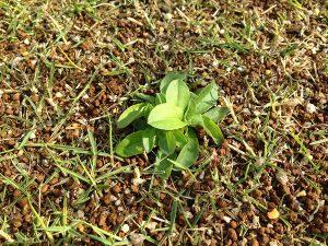 芝生の上のハルジオンのロゼット。