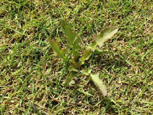 芝生の上のタンポポのロゼット。