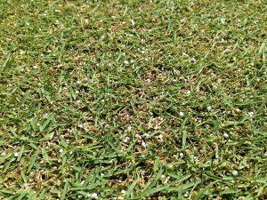 芝生の近接撮影。昨日散布した肥料の粒が残っている。