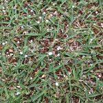 芝生の上のバロネスの肥料。大分溶けた。