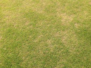 裏庭の芝生。まだ緑の薄いところ。