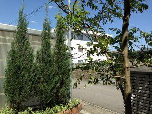 玄関前のコニファーとシマトネリコ。後ろ側から。良い天気。