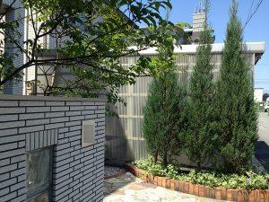 玄関前のコニファーとシマトネリコ。正面側から。良い天気。