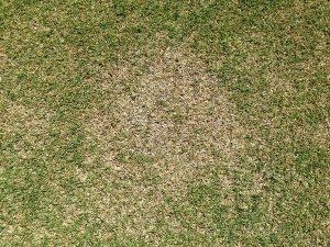 芝生の緑が薄いところ。茶色い枯れ芝(サッチ)がある。