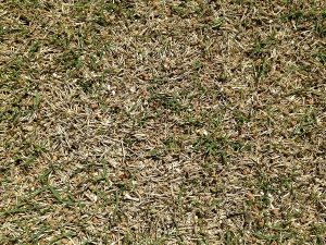 芝生の緑が薄いところ。近接撮影。茶色い枯れ芝(サッチ)がある。