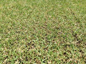 バーチカルカット(=根切り)の後の芝生。近接撮影。
