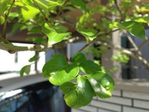 少し虫に喰われたシマトネリコの葉。