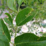 虫に喰われたシマトネリコの葉。