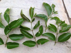 虫に食われたシマトネリコの葉を除去したもの。