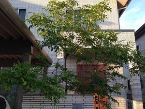 玄関前のシマトネリコ。正面から。