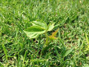 芝生に生えたヤブガラシ。