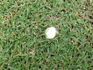 芝生に生えた白くて丸いキノコ。ホコリタケ?