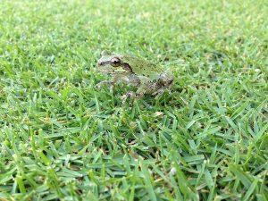 芝生の上のアマガエル。