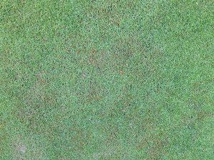 斑状に茶色くなった芝生。葉枯病?