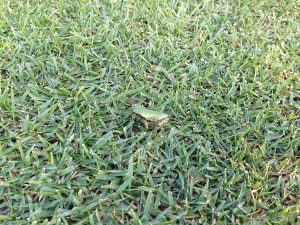 芝生の上のカエル。