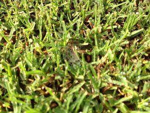 茶色い不定形の茶色い芝生の病気。ゾイシアデクライン(日本芝立枯病)?