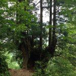 中山の樹齢千年と言われる立山杉。