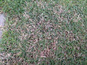 芝生の一部に茶色く生育の悪い所。