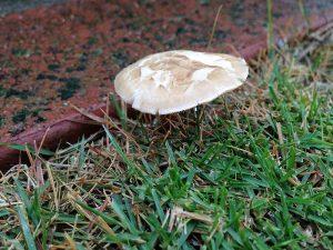 雨の中、芝生に生えたキノコ。