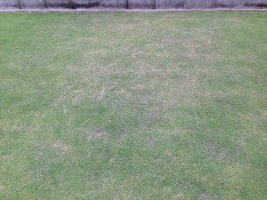 芝生の部分的に茶色くなった箇所。