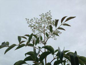 シマトネリコの花のつぼみ。