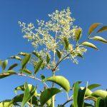 シマトネリコの花のつぼみと青空。